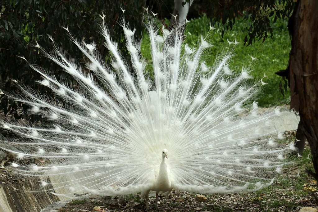 The male leucistic peacock displays a brilliant white tail pattern.