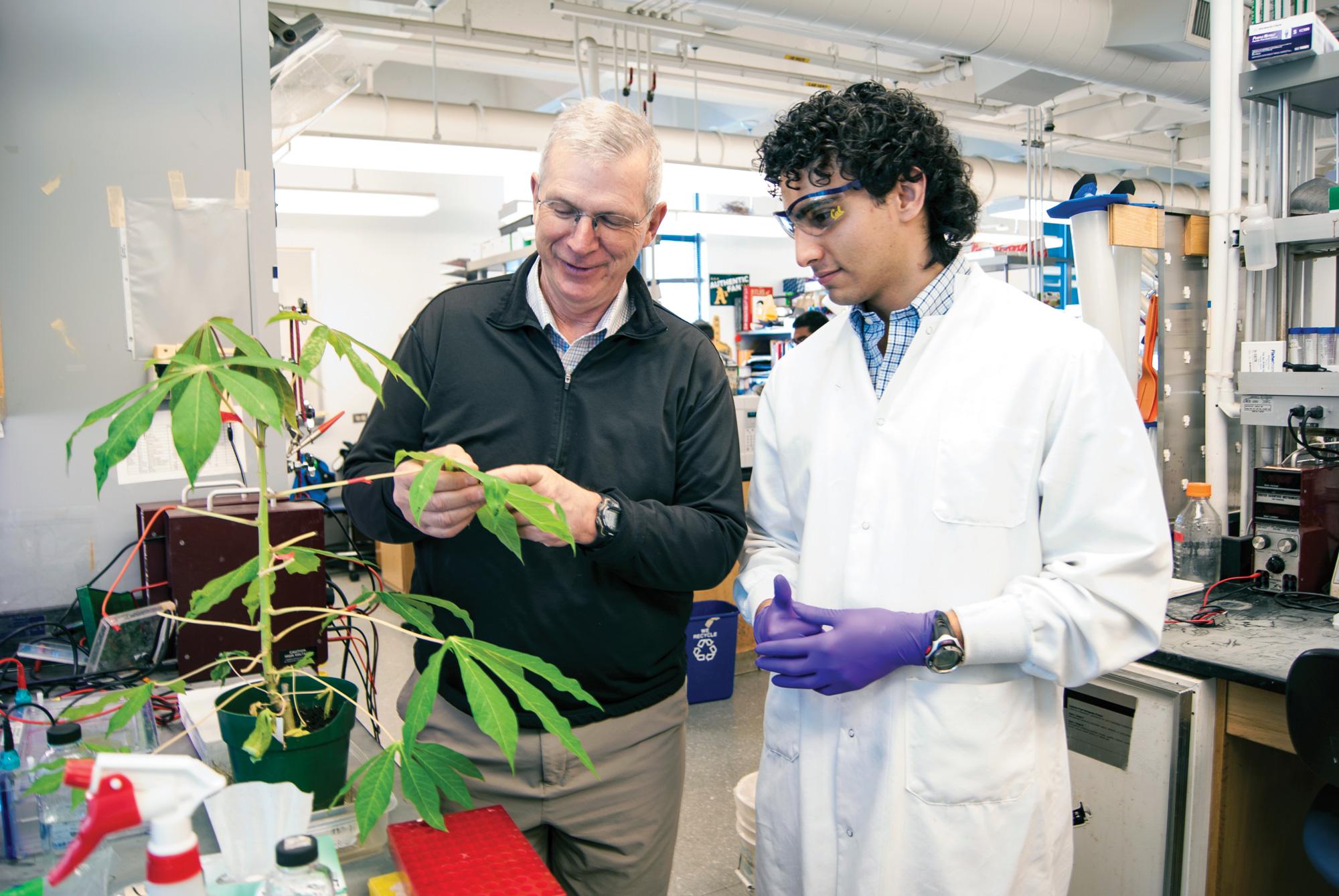 Professor Brian Staskawicz and Michael Gomez examine a cassava plant. Gomez is working to engineer disease resistance into cassava using CRISPR/Cas9 gene editing. credit: David Galvez/PMB
