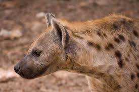 Hyaenas modify their behavior if they think they are outnumbered. Photo via Wikimedia Commons.