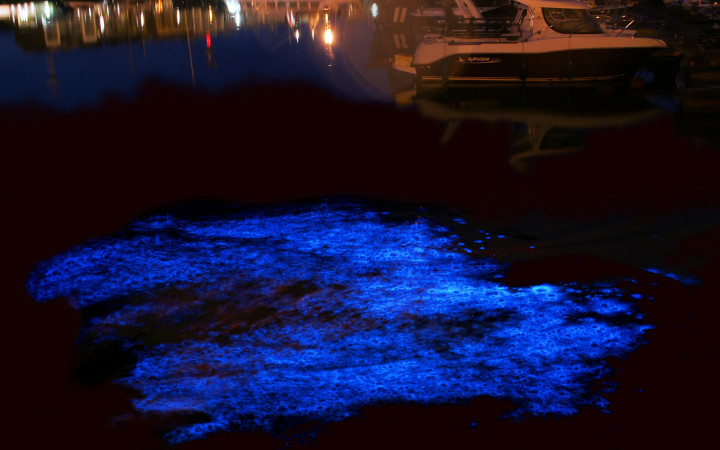 Noctiluca scintillans, a species of bioluminescent dinoflagellate, in Belgium. Hans Hillewaert, Creative Commons.