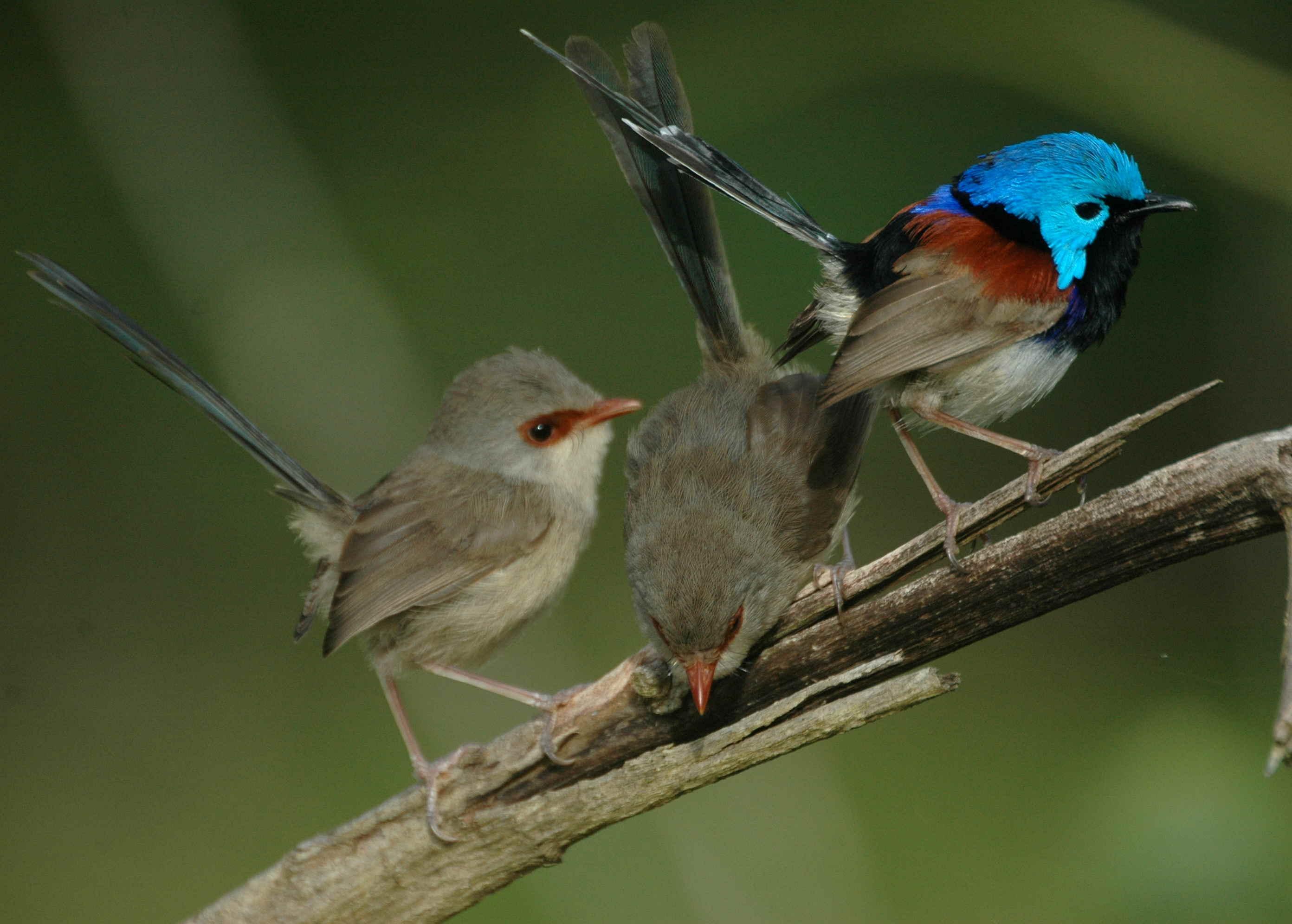 Fairy wrens teach their offspring a