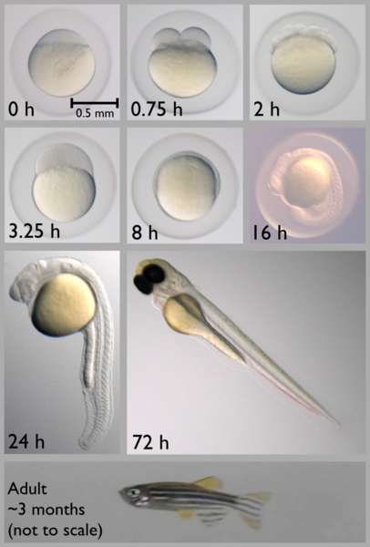 Early zebrafish development, from 0 to 72 hours post-fertilization. Note how young zebrafish remain trapped in their embryonic chorions until about 24 hours. Ed Hendel, Wikimedia Commons.