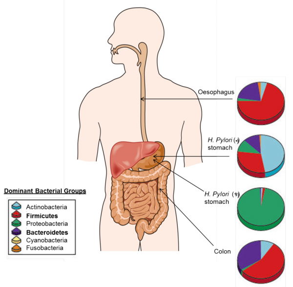 Bacterial composition of the adult gut. Bacteroidetes bacteria and Firmicutes bacteria (in bold) are the most dominant bacterial groups. Modified from Cho I, Blaser MJ. (2012).The human microbiome: at the interface of health and disease. Nat Rev Gen. 13(4), 260-270.