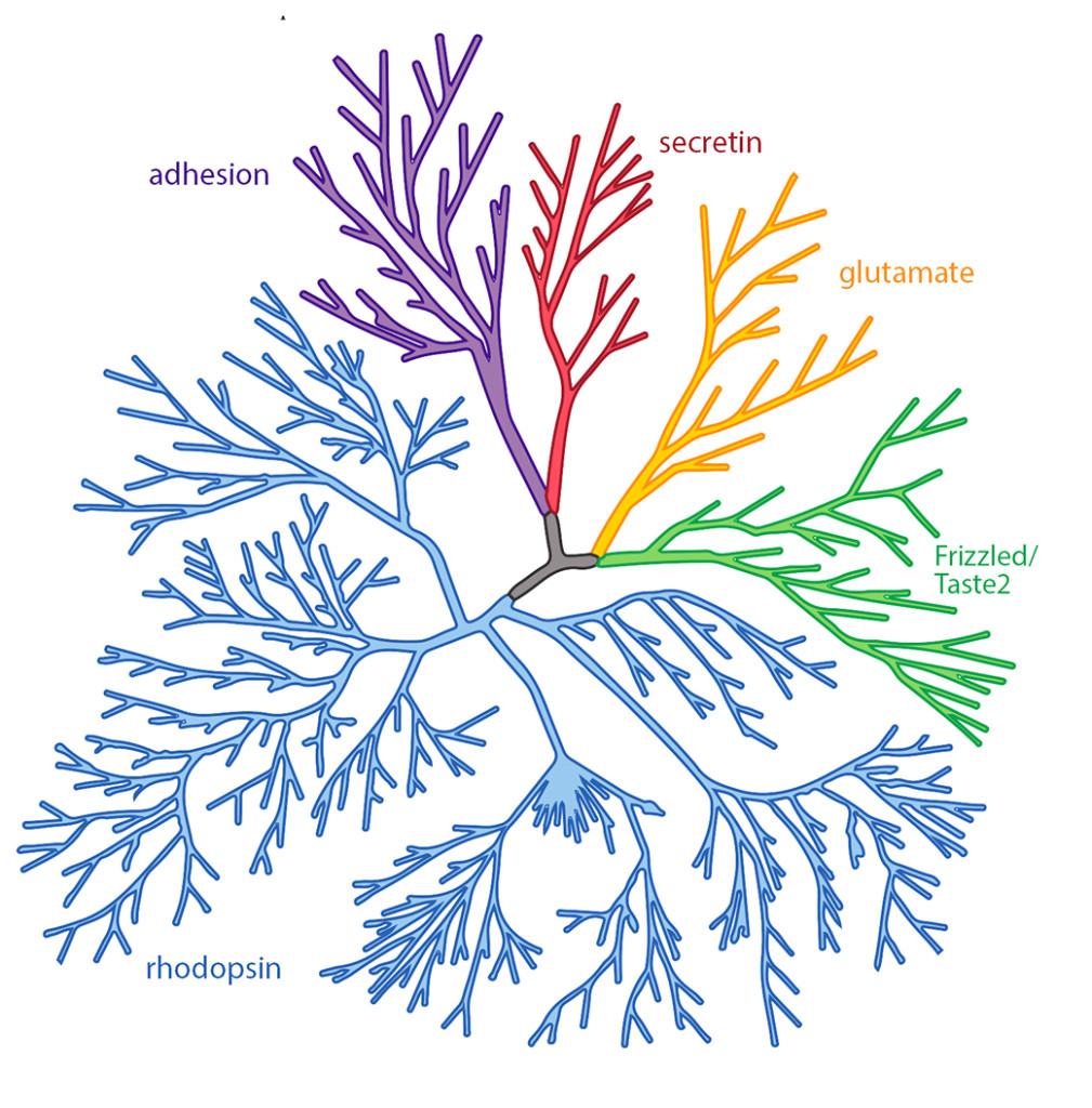 Caption: Phylogenetic tree representation of the human GPCR superfamily. Scientists divide GPCRs into 5 classes based on their sequence and structural similarities. These classes are secretin (red), glutamate (orange), Frizzled/Taste2 (green), rhodopsin (blue), and adhesion (purple). Credit: adapted b from an image from the gpcr network.