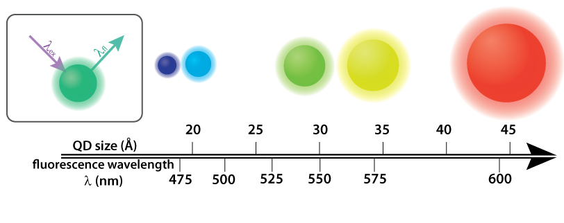 Quantum dots (QDs) are semiconductor nanocrystals that fluoresce in a variety of colors determined by their size. Above, cadmium selenide (CdSe) QDs sit atop a single axis that indicates both their diameter and the color they fluoresce. Inset: In order to give off light by fluorescence (lfl ), the QDs require higher energy light, such as UV light, (lex ) to be shined on them. Infographic: Ashley Truxal; Infographic data: DOI: 10.1021/cm034081k.