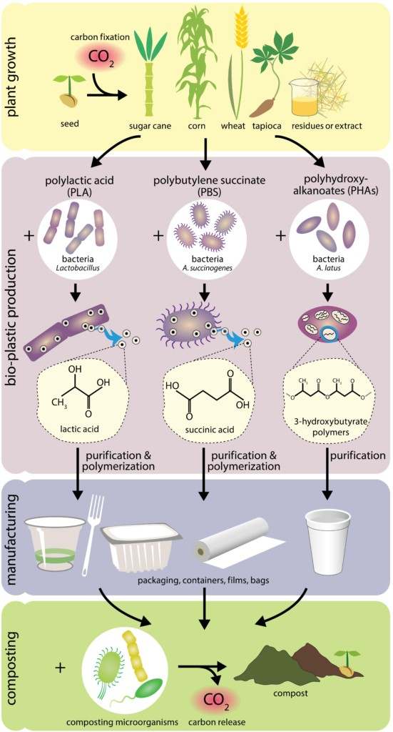 How are biodegradable plastics made? Synthesis, use, and biodegradation of three major bio-based plastics. Credit: Nicole Repina