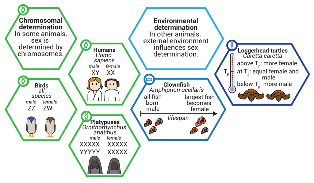 Animals use diverse mechanisms to determine the sex of developing offspring, including chromosome-based and environmental systems. Image credit: Lauren Borja, BSR Design Team.