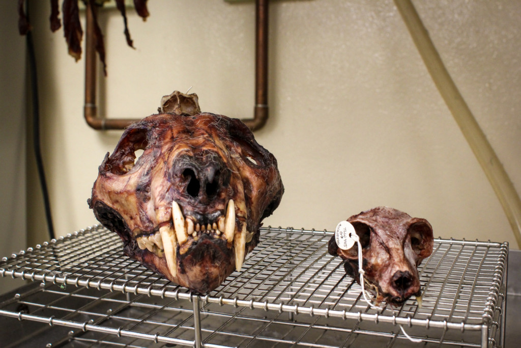 By Alli Quan (the author) at the Museum of Vertebrate Zoology.