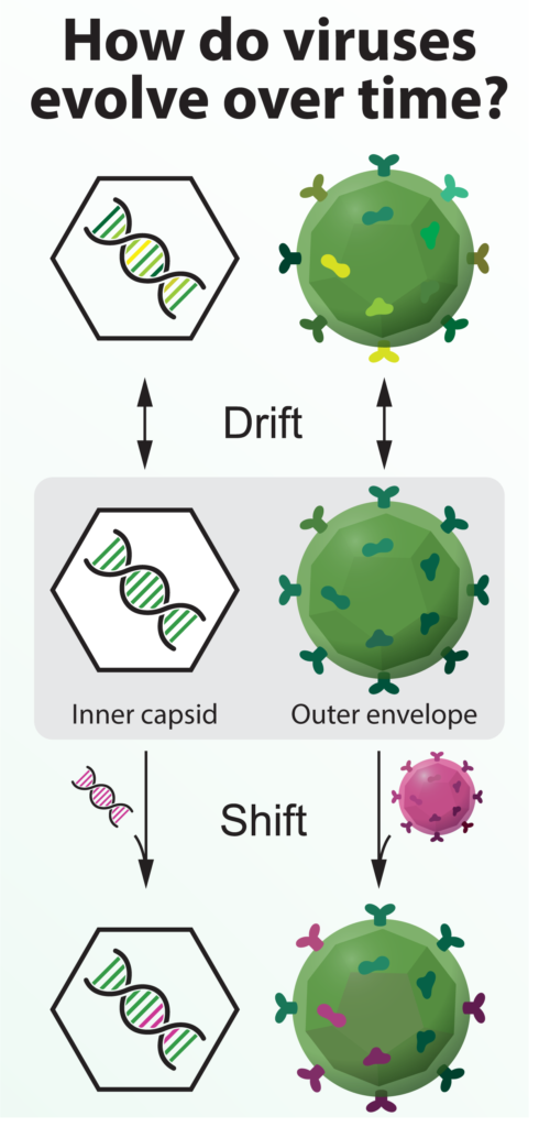 Virus mutating slowly (drift) or changing quickly by combining with another virus.