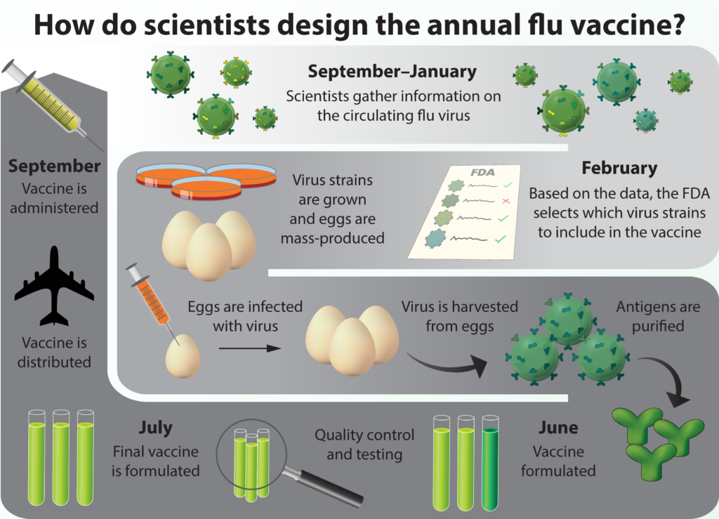 Scientists study virus, decide which strains to attempt to prevent, grow them in eggs, and make the vaccine from these viruses.