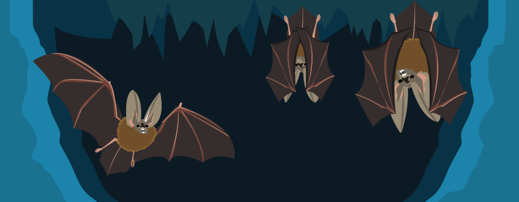 One flying Townsend's big-eared bat and 2 hanging Townsend's big-eared bats in a dark cave.